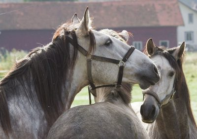 Hagens Ridcenter - hästar busar i hagen